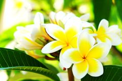 Exotic flowers from tropical contries. You deserve a vocation concept. Beautiful rare plants. Mother`s day, international women`. Yellow white frangipani blossom Stock Photography