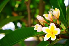 Exotic flowers from tropical contries. You deserve a vocation concept. Beautiful rare plants. Mother`s day, international women`. Yellow white frangipani blossom Royalty Free Stock Photos