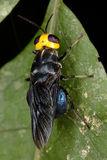 Exotic fly on a leaf of the tree. royalty free stock photography