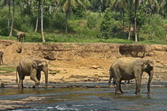 Exotic forest jungle with Wild big elephants playing  in river Stock Photo
