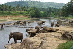 Exotic forest jungle with Wild big elephants playing  in river Stock Photography