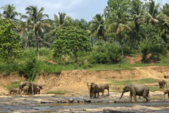 Exotic forest jungle with Wild big elephants playing  in water Stock Photos