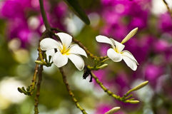 Exotic frandipani flowers. Exotic frangipani flowers - tropical nature background Stock Photo