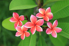 Exotic frangipani flower Stock Images