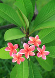 Exotic frangipani flower Royalty Free Stock Image