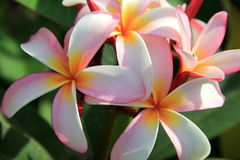 Exotic Frangipani flowers in tropical setting. Exotic Frangipani flowers give off heady scent, welcoming vacationers to tropical setting Royalty Free Stock Photography