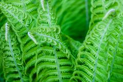 Exotic fresh ferns leaves natural background. Perfect vivid botanical backdrop for design royalty free stock photo