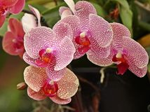 Exotic pink fresh Orchids royalty free stock photos