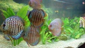 Discus fish aquarium stock images