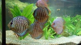 Discus fish aquarium stock photo