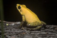 Exotic frog Royalty Free Stock Image