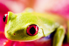 Exotic Frog Royalty Free Stock Photography
