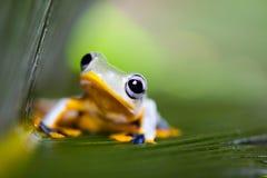 Exotic frog in indonesia, Rhacophorus reinwardtii on colorful ba Royalty Free Stock Image