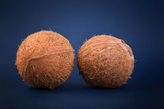 Exotic fruit coconut full of organic nutrients. Whole fresh and brown coconuts on a blue background. Tropical and healthy nuts. Close up of two whole and fresh Royalty Free Stock Images
