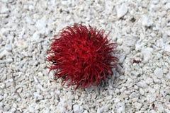 An exotic fruit. Rambutan on the pebble Stock Images