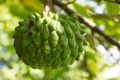 Exotic fruit of Rollinia deliciosa. Close up of a fruit of the Rollinia deliciosa called also Wild Sugar-Apple stock photo