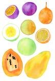 Exotic fruits. Real watercolor drawing Stock Image