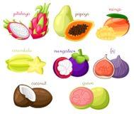 Free Exotic Fruits  Set Juicy And Ripe Fruit Papaya Guava Mango Pitahaya Mangosteen Fig Coconut Carambola Cartoon Organic Isolate Stock Images - 96241674