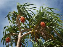 Exotic fruits on the tree against the sky. Bright sunny day royalty free stock photography