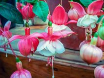 Exotic fuchsia flowers in the city botanical garden royalty free stock photography
