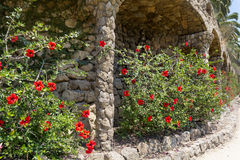 Exotic garden with hibiscus flowers in Spain. Exotic garden with hibiscus flowers in park Guell,Spain Stock Photos