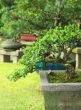 exotic garden Trees bonsai Royalty Free Stock Photo
