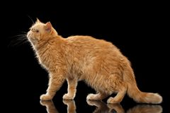 Exotic ginger cat Stands on Black mirror. Background stock photography