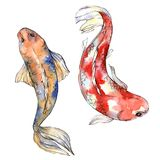 Exotic goldfish wild fish in a watercolor style isolated. Stock Photography