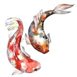 Exotic goldfish wild fish in a watercolor style isolated. Royalty Free Stock Image