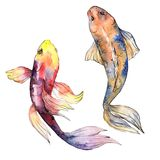 Exotic goldfish wild fish in a watercolor style isolated. Stock Images