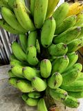 Exotic green banana from garden stock photography