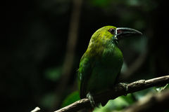 Exotic green bird Stock Photos