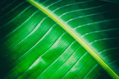 Exotic green leaf close-up texture. Big exotic leaf green close-up wallpaper Royalty Free Stock Images
