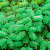Exotic green leaves on the wall background, India Stock Photo