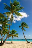 Exotic high palm trees on a wild beach against the azure waters of the Caribbean Sea, Dominican Republic Royalty Free Stock Photos