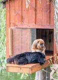 Exotic Howler monkeys lounging around the monkey house royalty free stock images