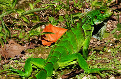 Exotic Iguana. This majestic iguana camouflages among the Amazon trees Stock Photography
