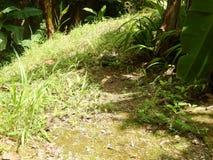 Exotic Iguana. This majestic iguana camouflages among the Amazon trees Royalty Free Stock Image