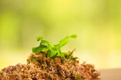 Exotic insect-eating predator flower Venus flytrap dionaea planted over a substratum of wood, moss a ground with Royalty Free Stock Photos