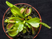 Exotic insect-eating predator flower Venus flytrap isolated on b Royalty Free Stock Images