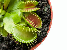 Exotic insect-eating predator flower Venus flytrap isolated on b Stock Images