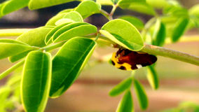 Exotic insect in Moringa`s tree. This beautiful and exotic insect was posing in my moringa`s tree royalty free stock photo