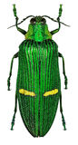 Exotic jewel beetle Catoxantha opulenta from tropical Asia Royalty Free Stock Photos