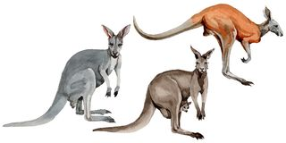 Exotic kangaroo wild animal in a watercolor style isolated. Stock Photo