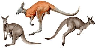 Exotic kangaroo wild animal in a watercolor style isolated. Stock Photos