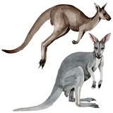 Exotic kangaroo wild animal in a watercolor style isolated. Stock Images