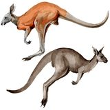 Exotic kangaroo wild animal in a watercolor style isolated. Royalty Free Stock Image