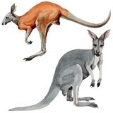 Exotic kangaroo wild animal in a watercolor style isolated. Full name of the animal: kangaroo, wallaby, wallaroo. Aquarelle wild animal for background, texture Royalty Free Stock Image