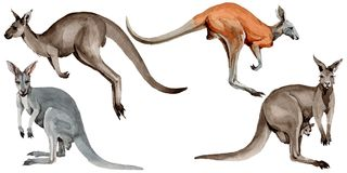 Exotic kangaroo wild animal in a watercolor style isolated. Full name of the animal: kangaroo, wallaby, wallaroo. Aquarelle wild animal for background, texture Stock Photo