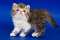 Exotic kitten. On blue background Royalty Free Stock Photos